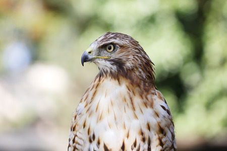 tailed: Close-up shot of red-tailed hawk Stock Photo