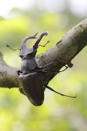 Close-up shot of male stag beetle climbing a branch