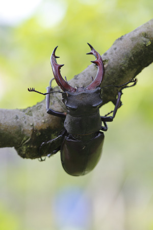 feelers: Close-up shot of male stag beetle climbing a branch