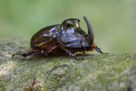Macro shot of European rhinoceros beetle