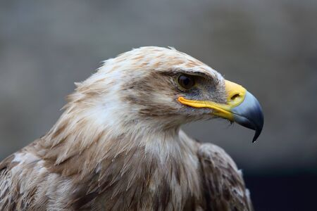 Close-up shot of a steppe eagle on a blurred background