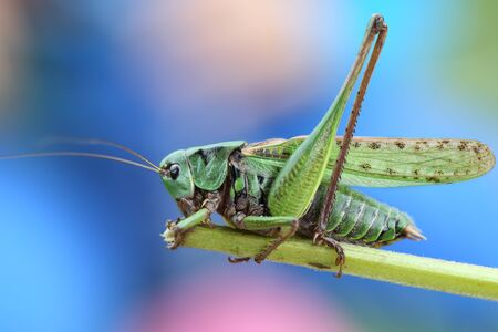 Macro shot of meadow grasshopper sitting on a grass stem in the front of colorful background