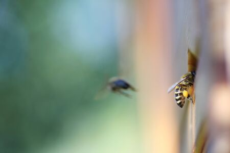 Shot of a honeybee carrying pollen into the beehive. Standard-Bild