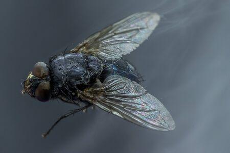 Mouche domestique - vue macro rapprochée de Musca domestica tout en volant dans la fumée sur les yeux de la tête et le corps avec les ailes déployées en l'air sur fond sombre.