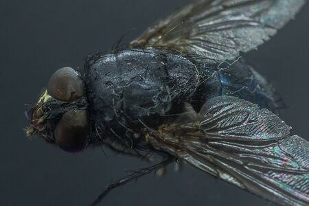 Housefly - Musca domestica close-up macro view while flying in smoke on head eyes and body with outstretched wings in the air on dark background. Zdjęcie Seryjne