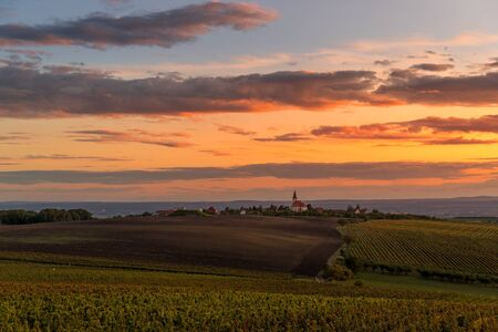Field of grapevine vines view of grape lines from the side of an area of South Moravia before harvest at autumn sunset captured