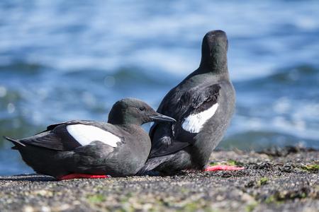 blackandwhite: Black Guillemot on a pier