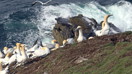 Northern gannets on a big cliff rock