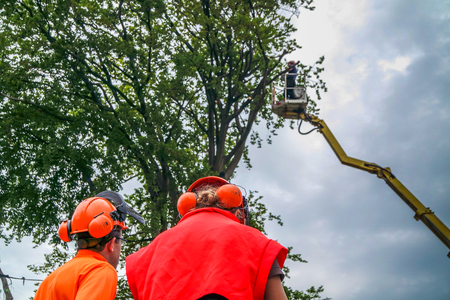 Workers fell a tree with a chain saw