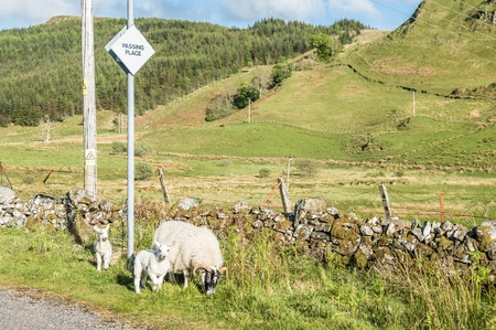 depletion: Sheep waiting at a passing place