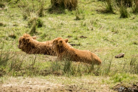bovidae: Baby Highland cattle dwelling in the field, Scotland Stock Photo