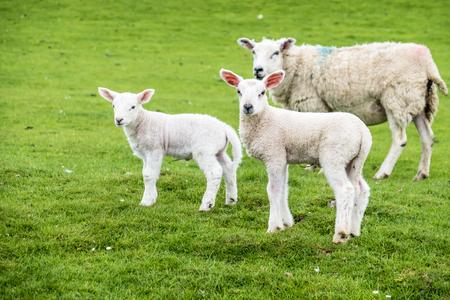 Sweet lambs dwelling in the green beautiful Scottish field
