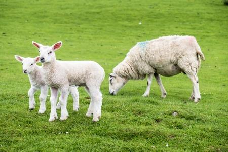 dwelling: Sweet lambs dwelling in the green beautiful Scottish field
