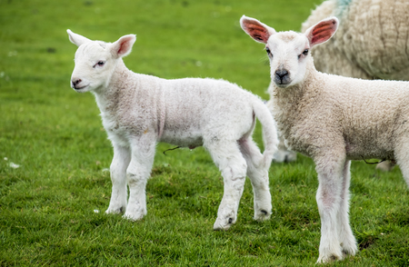 dwelling: Sweet lambs dwelling in the green beautiful Scottish fields Stock Photo