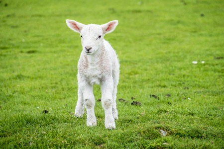 Cute little lamb dwelling in the green beautiful Scottish fields Stock Photo