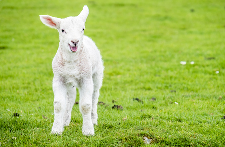 dwelling: Cute little lamb dwelling in the green beautiful Scottish fields Stock Photo