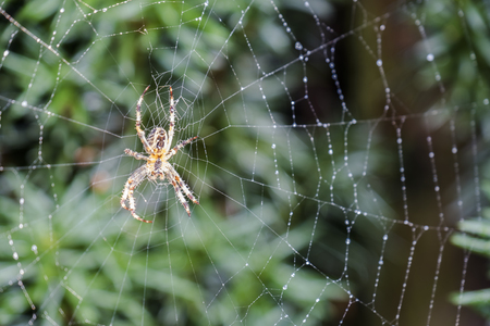 Garden cross spider, Araneus diadematus, waiting in net