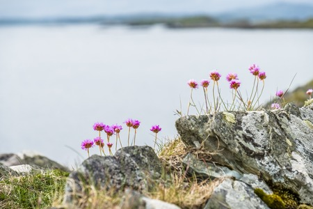 Wild coastal flowers growing on rocks on the shores