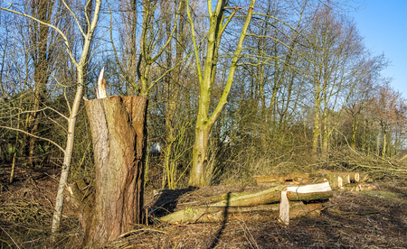 Felled tree after the storm