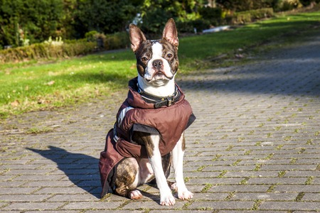 Pug dog with jacket on a cold winter morning