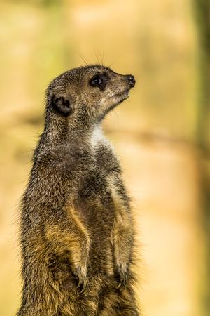 Alert meerkat ,Suricata suricatta, standing on guard Stock Photo