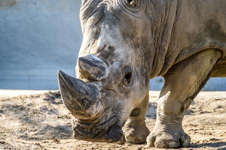 Head portrait of Rhino on the sand Stock Photo