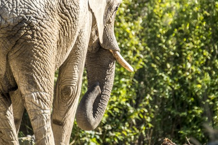 Detail rear view of african elephant