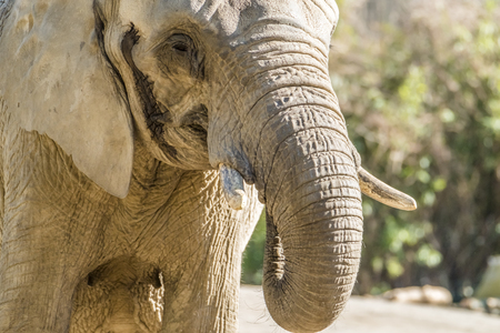 Detail front view of african elephant