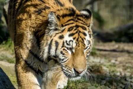 Close-up of Siberian Tiger Stock Photo