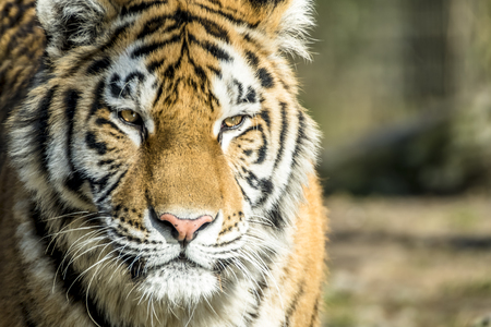 Close-up of Siberian Tiger Banque d'images