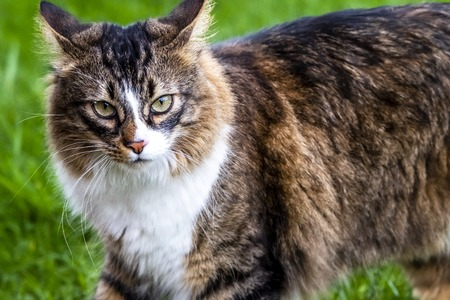 Close-up of Maine Coon cat outdoor on the lawn.