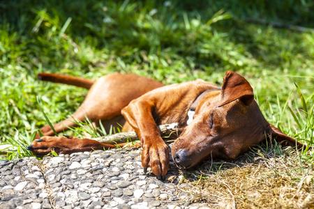 Miniature pinscher resting between pavement and green lawn.