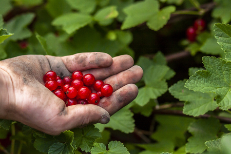Red currant berries in hand of young boy.