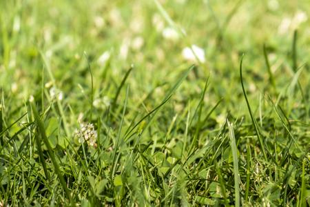 Green grass with white clover blossom Trifolium repens.
