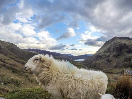 Sheep having a look at the camera at Llyn Gwynant in Snowdonia National Park Gwynedd North Wales.