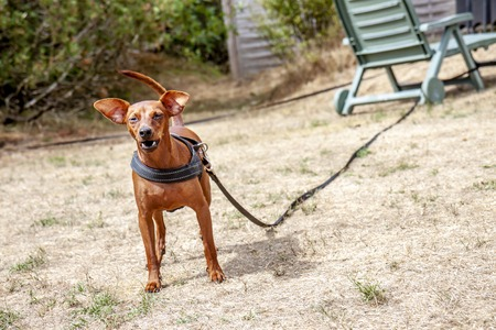 Young brown Miniature Pinscher on dry grass.
