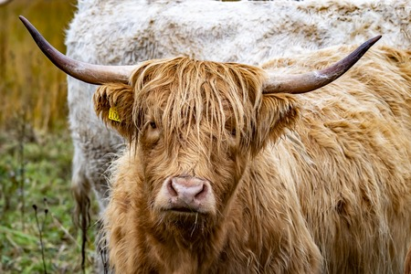 Highland cattle - Bo Ghaidhealach -Heilan coo - a Scottish cattle breed with characteristic long horns and long wavy coats on the Isle of Skye in the rain , Highlands of Scotland Zdjęcie Seryjne