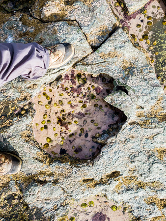 Rare Dinosaur footprint of the sauropod-dominated tracksite from Rubha nam Brathairean, Brothers Point - Isle of Skye, Scotland Stock Photo