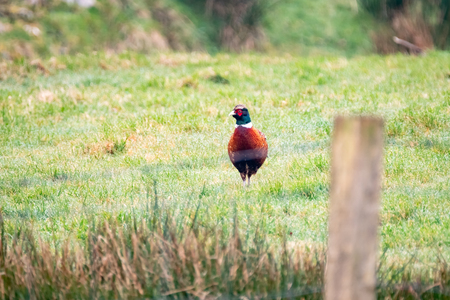 Common Pheasant ,Phasianus colchicus, standing in the garden