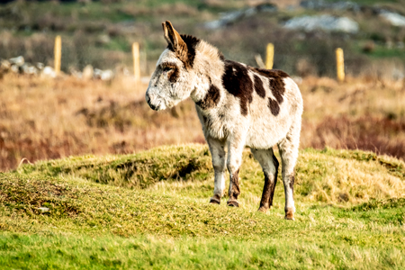 Donkey standing in a field of green grass in Ireland 版權商用圖片