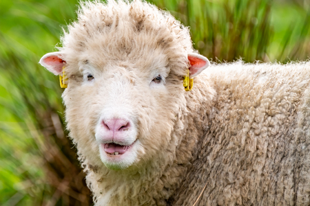 Ugly old sheep looking into the camera