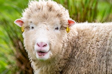 Vieux mouton laid regardant dans la caméra