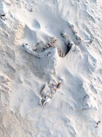 Full sheep skeleton lying on the sandy beach of Portnoo, County Donegal - Ireland Foto de archivo