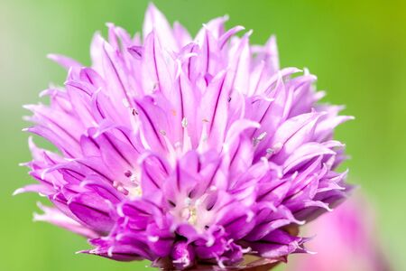 Flowering red clover. close-up shot during the summer