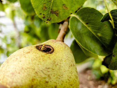 Close up of wasp climbing into a pear