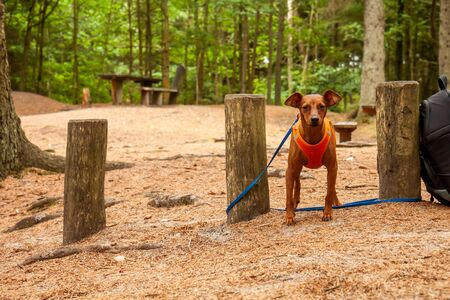 Miniature pinscher standing in the forest wearing its vest Reklamní fotografie - 130685395