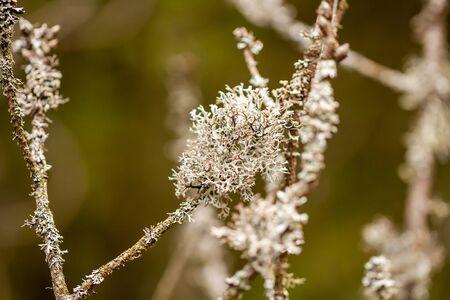Close up of cladonia tenuis lichen. Location: Denmark