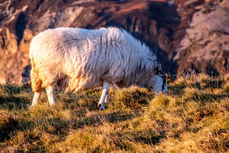 Sheep enjoying the sunset at the Slieve League cliffs in County Donegal, Ireland