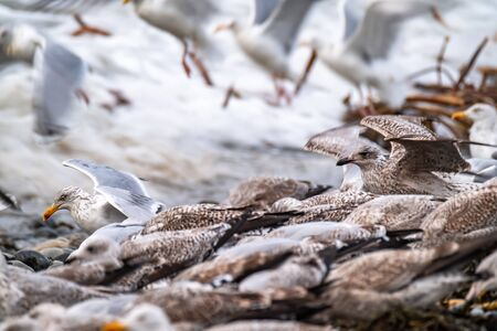 Huge amount of Seagulls feeding at the coast of Maghery in County Donegal during the storm- Ireland Reklamní fotografie