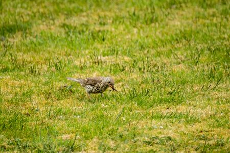 Kestrel catching worms on a lawn in County Donegal - Ireland. Stock Photo